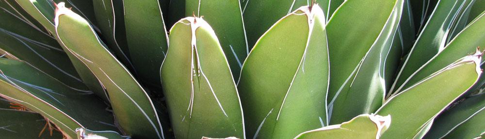 Cactus succulente piante grasse for Piante grasse succulente