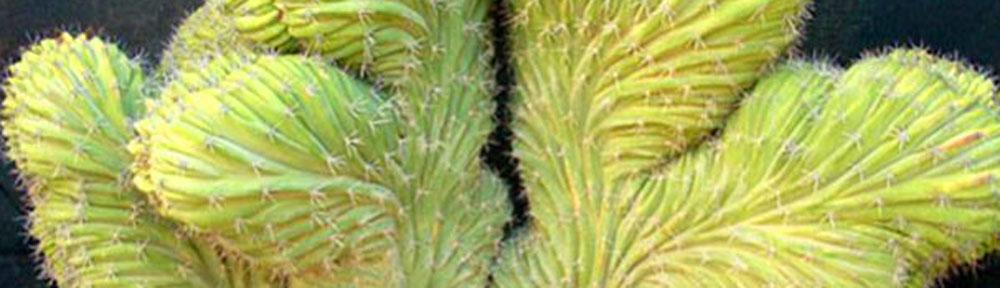 Piante grasse nel salento for Cactus piante grasse
